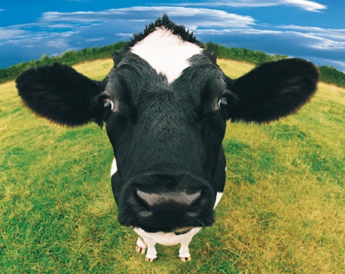 What Leaders can Learn from Cow Names | strategicleaders
